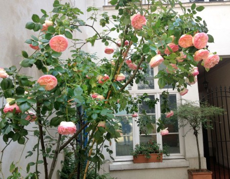The courtyard is filled with plants and trees. This rose bush would have made my Ma swoon.